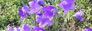 Balloon flowers are in full bloom in the countryside.
